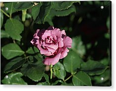 A New Rose Acrylic Print