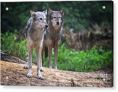 A Pair Of Mackenzie Valley Wolves Acrylic Print