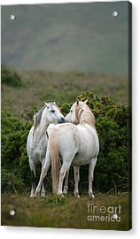 A Pair Of Welsh Mountain Ponies Greet Acrylic Print