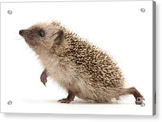 Acrylic Print featuring the photograph A Prickly Problem by Warren Photographic