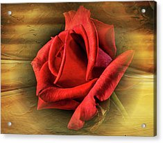 A Red Rose On Gold Acrylic Print