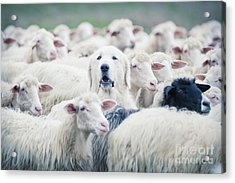 A Shepherd Dog Popping His Head Up From Acrylic Print
