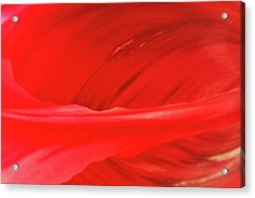 A Single Tulip Petal Acrylic Print