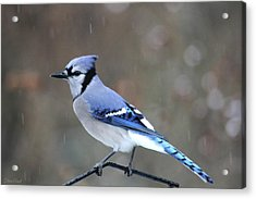 A Snowy Day With Blue Jay Acrylic Print