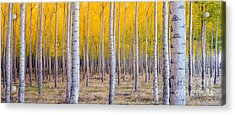 A Stand Of Trees Begins To Weather Fall Acrylic Print by Christopher Boswell