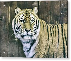 A Tigers Look Acrylic Print