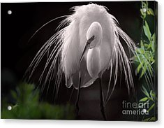 A Touch Of Class - Great Egret With Plumage Acrylic Print