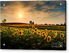 A View Of A Sunflower Field In Kansas Acrylic Print