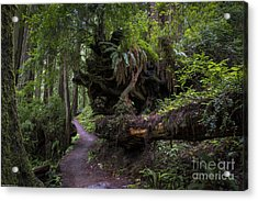 A Walk In The Redwoods Acrylic Print