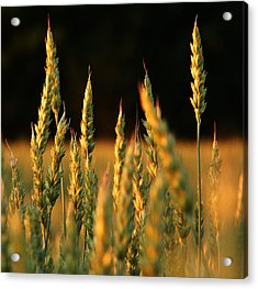 A Wheat Field Towards The End Of The Day Acrylic Print by Ssuni
