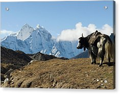 A Yak On The Trail To Mount Everest Acrylic Print