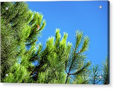 Adriatic Pine Against Blue Sky  Acrylic Print