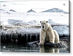Adult Male Polar Bear At The Ice Edge In Svalbard Acrylic Print