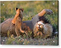Africa, Botswana, Adult Male Lion Acrylic Print by Westend61