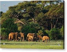 African Bush Elephant - Loxodonta Acrylic Print