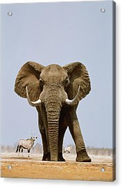African Elephant And Gemsboks, Namibia Acrylic Print by Art Wolfe
