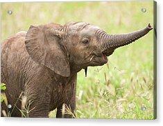 African Elephant Loxodonta Africana Acrylic Print by Photostock-israel/science Photo Library