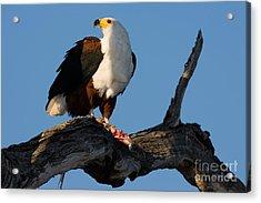 African Fish Eagle Haliaeetus Vocifer Acrylic Print
