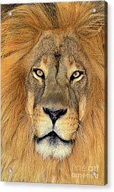Acrylic Print featuring the photograph African Lion Portrait Wildlife Rescue by Dave Welling