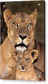 African Lions Parenthood Wildlife Rescue Acrylic Print