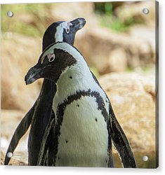 African Penguins Posing Acrylic Print