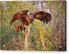 Acrylic Print featuring the photograph African Vulture by John Rodrigues