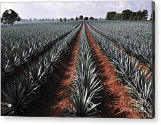 Agave Field For Tequila Production Acrylic Print
