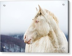 Albino Horse With Eyes Blue On The Snow Acrylic Print