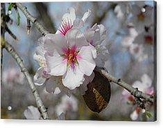 Almond Blossom And Almond Nut. Spain Acrylic Print by Josie Elias