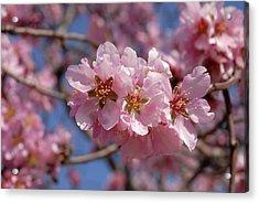 Almond Blossom. Spain Acrylic Print by Josie Elias