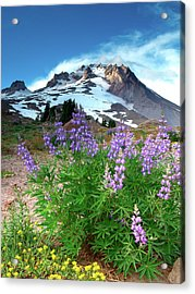 Alpenglow On Flowers And Mt. Hood Acrylic Print