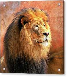 Alpha Male Lion Acrylic Print