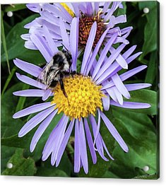 Acrylic Print featuring the photograph Alpine Aster At Glacier National Park by Lon Dittrick