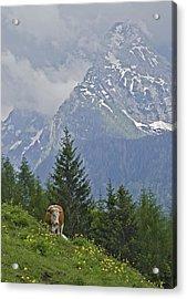 Alpine Cow Acrylic Print