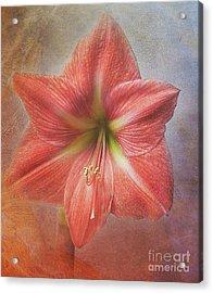 Amaryllis 'terra Cotta Star' Acrylic Print