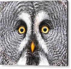 Amazed Great Grey Owl Hdr Acrylic Print by Pics-xl