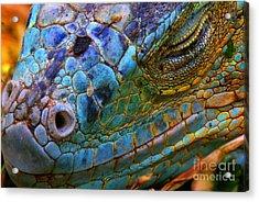 Amazing Iguana Specimen Displaying A Acrylic Print