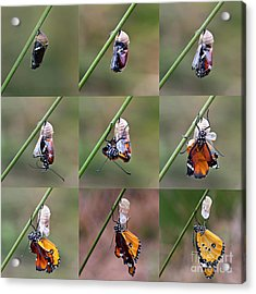 Amazing Moment About Butterfly Change Acrylic Print
