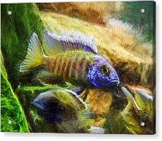 Amazing Peacock Cichlid Acrylic Print
