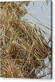 Acrylic Print featuring the photograph American Bittern by Debbie Stahre