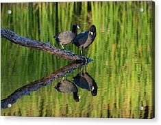 American Coot In Pond Acrylic Print by Larry Ditto