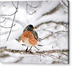 American Robin In The Snow Acrylic Print