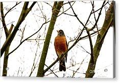 American Robin Perching In A Wintertime Tree Acrylic Print