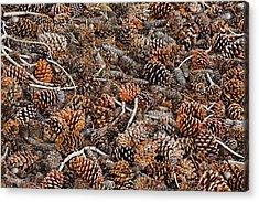 Ancient Bristlecone Pine Cones Acrylic Print by Adam Jones