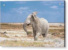 Angry Bull Acrylic Print