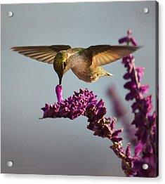 Anna's Hummingbird Sipping Nectar From Salvia Flower Acrylic Print