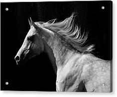 Arab Stallion Acrylic Print by Photographs By Maria Itina