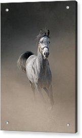 Arabian Horse Running Through Dust Acrylic Print by Christiana Stawski