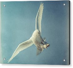 Arctic Angel Acrylic Print