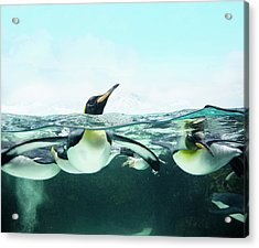 Arctic Penguins Acrylic Print by Colin Anderson